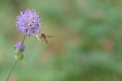 A hoverfly flies up to a blossoming lilac Knautia arvensis flower. Soft focused macro image.
