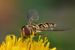 A hoverfly (Melangyna viridiceps) collects pollen from an yellow flower (dandelion)
