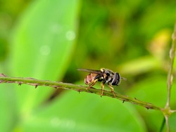 a hoverfly perches and engages in the weeds