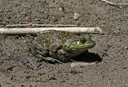 A huge American Bullfrog (Lithobates catesbeianus or Rana catesbeiana) sitting in the mud beside the Middle Fork Gila River, Gila National Forest, New Mexico.