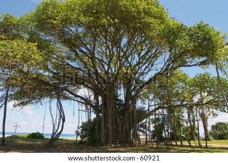 Banyan tree Images and Stock Photos - Page: 5 - Avopix com