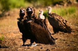 a huge black vulture in spain
