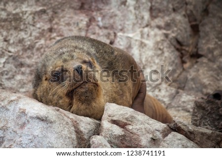 A huge bull sea lion dozing on warm rocks in the sunshine opens one eye to check his surroundings before going back to sleep.  landscape orientation.