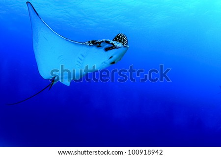 A huge Caribbean spotted eagle ray glides by in Mexico. - stock photo