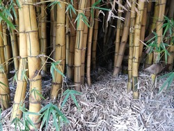 A huge clump of Bamboo trees which create an impressive feature as well as a fantastic screening effect on the boundary  of a property. Captured in Harare,  Zimbabwe,  Africa on 26th April 2020.