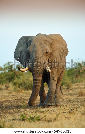 A huge Elephant Bull approaches at Sunset