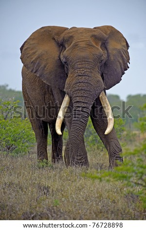 A huge Elephant Bull is king of Addo