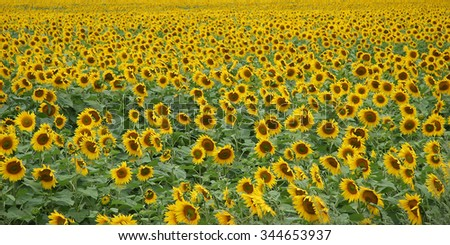 A huge farm field planted with sunflowers. Sunflowers bloom bright yellow.