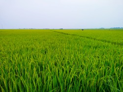 A huge field is a combination of paddy trees and paddy