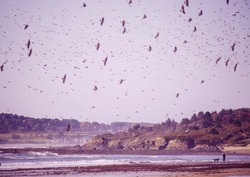 A huge flock of birds of swallows over the coast of the Atlantic Ocean. USA. Maine.