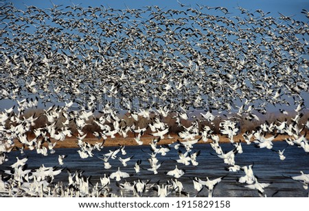 a  huge flock of  hundreds of snow geese taking flight over the water in winter at bosque del apache national wildlife refuge near socorro, new mexico Foto stock ©
