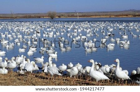 a huge flock of white snow geese resting at a pond on a sunny winter day in the bosque del apache national wildlife refuge near socorro, new mexico Foto stock ©