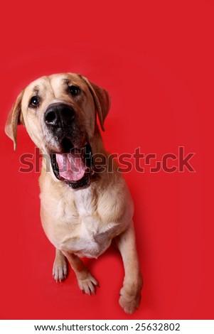 A huge, goofy dog raising his paw.