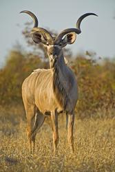 A huge Kudu Bull enjoys the early morning Winter Sun