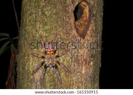 Earth tiger tarantula