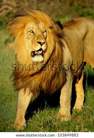 A huge male khalahari black maned lion walking towards the camera in this front on portrait taken at the big five reserve,Pumba game reserve,eastern cape,south africa