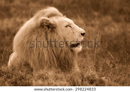 a huge male white lion lying