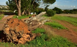 A huge old dead eucalyptus tree stump ripped out of the ground by a storm wind