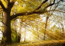 a huge old oak tree in autumn park lighted sun sunrise