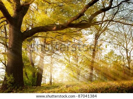 a huge old oak tree in autumn park lighted sun sunrise - stock photo