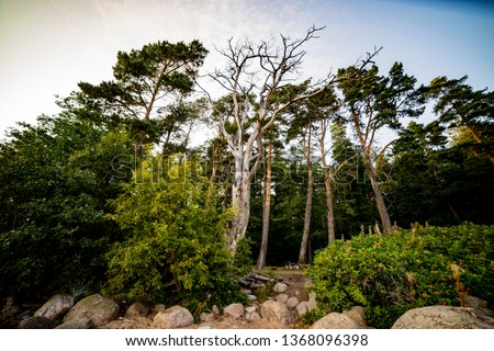 a huge old tree standing proudly on the shore of the Gulf of Finland surrounded by young pines and bushes.  the concept of harmony with nature #1368096398