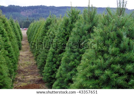 A Huge Oregon Christmas Tree Farm in a rural country area of the state.