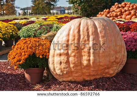A huge pumpkin gourd on display at a farmer's market selling mums and pumpkins in autumn.