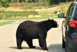 A huge scary hungry black bear sniffing curiously looking around a parked car on a road for a way to get inside for food.