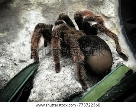 A huge spider, goliath bird-eating tarantula (the biggest tarantula in the world) close-up