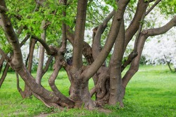 A huge spreading tree with many trunks intertwined. Intertwined trunks of trees in the Park.
