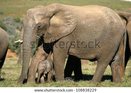 A huge tuskless elephant mother cow with her tiny new born baby calf in Addo elephant national park,eastern cape,south africa