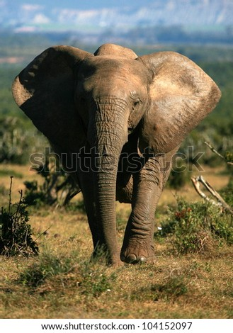 A huge tuskless female elephant cow marching towards the camera in this low angle front on view. Taken while on safari in Addo elephant national park,eastern cape,south africa