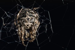 A Huge Venomous Spider Waiting for Its Prey in a Dark Place