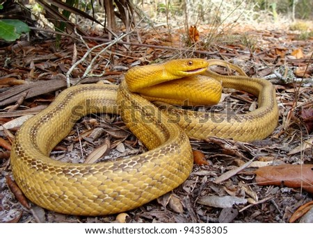 A huge yellow snake coiled and hissing in sandy palmetto forest - Yellow Rat Snake, Pantherophis obsoleta quadrivittata