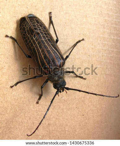 A huhu beetle - the largest beetle in New Zealand.