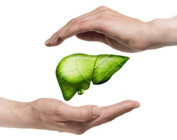 A human liver between two palms on white isolated background. The concept of a healthy liver.