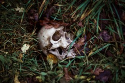 A human skull in the grass is buried under autumn leaves. Fake skull close - up in natural background. A copy of a human skull for Halloween, a mystical concept of horror, death, disease, war.