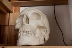 a human skull made of plaster on wooden shelf