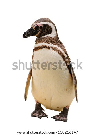 A Humboldt or Magellanic species of penguin, isolated on white