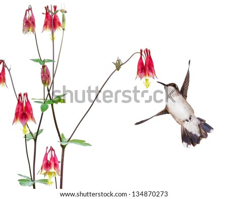 A hummingbird focuses in on the sweet nectar of a ruby red columbine flower. The delicate bird's tail is wide open, its white breast and spotted neck are in full display.  white background