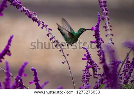 A hummingbird in perfect balance flight on purple flowers against blurred background. Glittering-throated Emerald (Amazilia fimbriata).