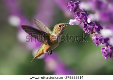 A hummingbird (likely an Allen's) hovering and feeding on Mexican Bush Sage. Photo taken in Southern California.