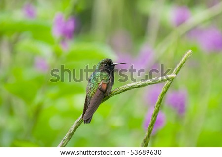 A hummingbird sits on a stalk of a plant in the rain forest of Costa Rica