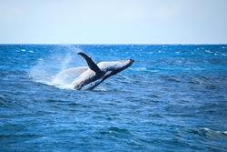 A hump back whale breaching in the Atlantic Ocean