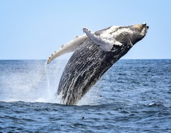 A humpback whale breaches with a twist as he begins his fall back to the ocean.