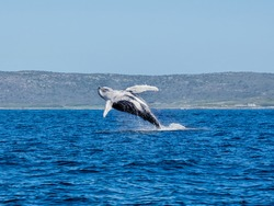 A Humpback Whale breaching in front of Cape Point in False Bay, South Africa