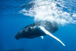 A Humpback whale calf (Megaptera novaeangliae) plays at the surface of the Caribbean Sea. Humpbacks are baleen cetaceans that are acrobatic and known for breaching as well as their complex songs.