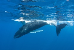 A Humpback whale calf (Megaptera novaeangliae) surfaces in the Caribbean Sea to breathe.  Humpbacks in the Atlantic migrate from the New England area to the Caribbean to breed and give birth.