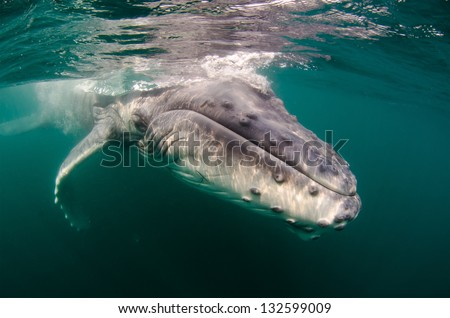 A humpback whale calf swims in the Indian Ocean