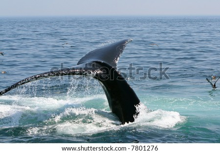 A humpback whale dives into the ocean off of Cape Cod.